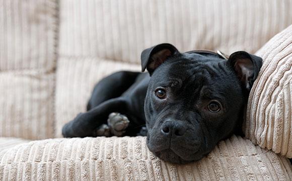 Staffordshire Bull Terrier Staffy Dog